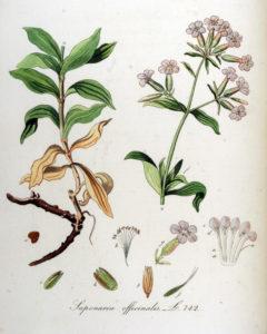 zeepkruid uit Flora