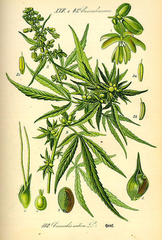 hennep, Cannabis Sativa
